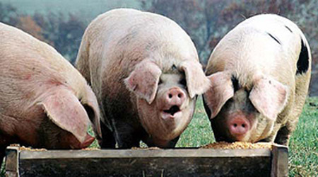 pigs-at-the-trough